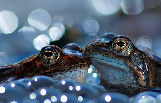 Two European common brown frogs Aveto Regional Natural Park, Italy