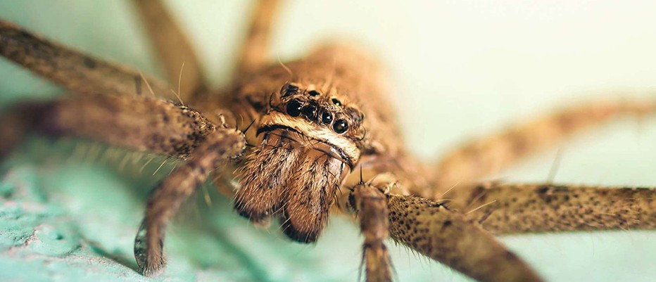 How big would a spider have to be before it is unable to stick to the wall?