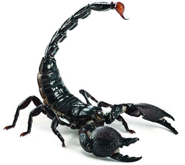 Deadliest creatures - Scorpions © Getty Images