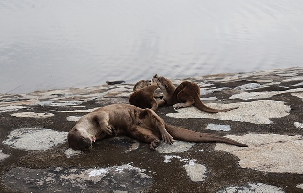 Two smooth-coated otter (lutrogale perspicillata) pups photographed at Punggol, Singapore