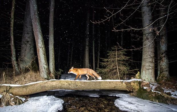 Red fox (Vulpes vulpes) Bohemian Forest, Czech Republic