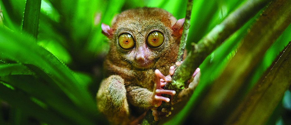 Why the Tarsier is one of nature's strangest creatures