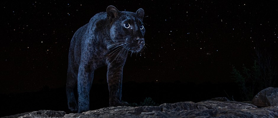 The rare black panther not seen in Africa for 100 years: Sony World Photography Awards 2021