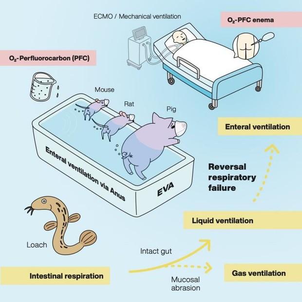 Diagram of enteral ventilation via the anus