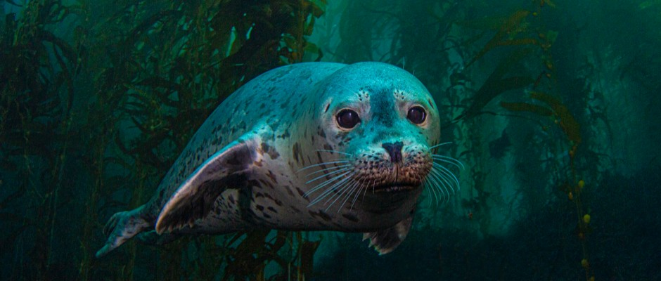 Unique seal swimming patterns could inspire new underwater drones
