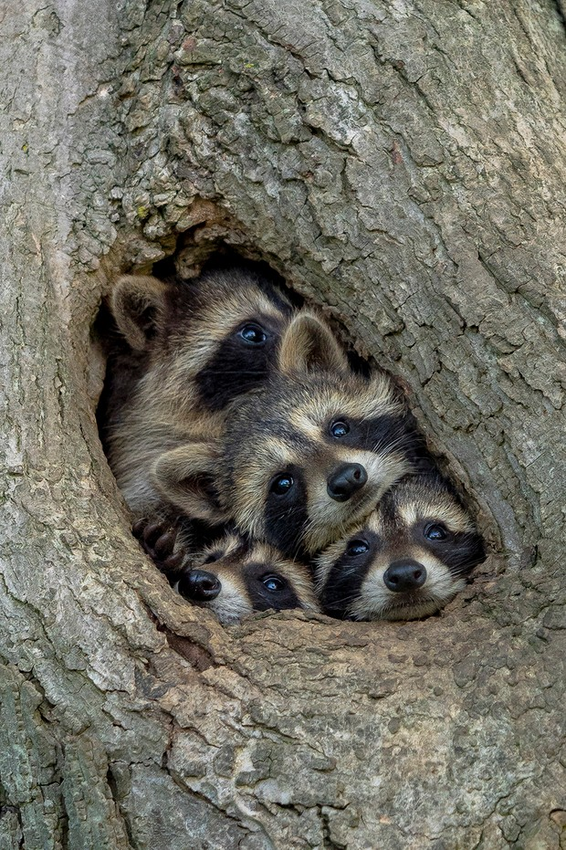 The Comedy Wildlife Photography Awards 2021 Kevin Biskaborn Barrie Canada Phone: Email: Title: Quarantine Life Description: Isolated inside with your family eager to get out and explore the world? These eastern raccoon kits are too. Just when you think there's no more room in the tree hollow, mother raccoon appears and displays just how compact the space is. The babies clambered all over their mom and each another, struggling to take a look at the exact same time. This photo was taken in Southwestern Ontario, Canada. After exploring a particular area with numerous tree hallows, I identified it as a hot spot for raccoon families. Since raccoons will move from den to den, often not spending more than one night at a time in a particular den, locating an area with numerous options is key to locating the animals. I stumbled across this family and immediately worked on leveling the camera with the hole to prevent an upward angle. When the camera and tripod were ready, the baby raccoons were extremely curious (and cooperative), sticking their heads out for a closer look! Animal: Raccoon / Procyon lotor Location of shot: Southwestern Ontario, Canada