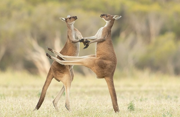 The Comedy Wildlife Photography Awards 2021 Lea Scaddan Perth Australia Phone: Email: Title: Missed Description: Two Western Grey Kangaroos were fighting and one missed kicking him in the stomach. Animal: Western Grey Kangaroo Location of shot: Perth, Western Australia