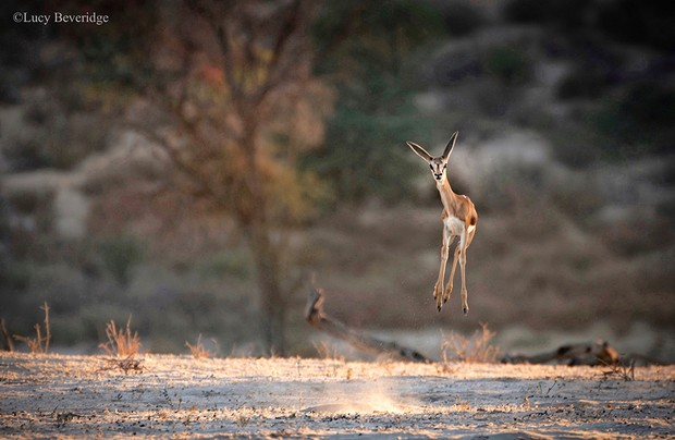 The Comedy Wildlife Photography Awards 2021 Lucy Beveridge Madrid Spain Phone: Email: Title: Yay! It's Friday! Description: A young springbok, all ears and spindly legs, caught in midair while pronking as the sun started to rise over the Kgalagadi Transfrontier Park. There's not much information on why the Springbok pronk but some theories suggest it is a way of showing fitness and strength to ward off predators and attract mates. It has also been said that this small, dainty and largely unappreciated antelope also pronks out of excitement, jumping for joy! Animal: Springbok Location of shot: Kgalagadi Transfrontier Park, South Africa