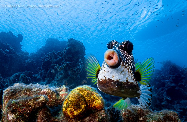 The Comedy Wildlife Photography Awards 2021 Philipp Stahr Mannheim Germany Phone: Email: Title: Sweet lips are for kissing! Description: This picture was taken at Curaçao, Dutch Caribbean. Usually box fishes are difficult to take pictures of, since they do not have a problem of a diver coming close, but if you show interest, they always turn the back and not the face to you. That's why I tried to swim 0.5m above the fish and showing no interest at all to him. The same time I had my camera not in front of me, but below at my chest pointing to the bottom. When the right moment had come, I turned the camera 90 degrees to the front and just point and shoot, hoping to have the fish in focus. Never expected to have its beautiful lips that close! Animal: Boxfish Location of shot: Curaçao, Dutch Caribbean