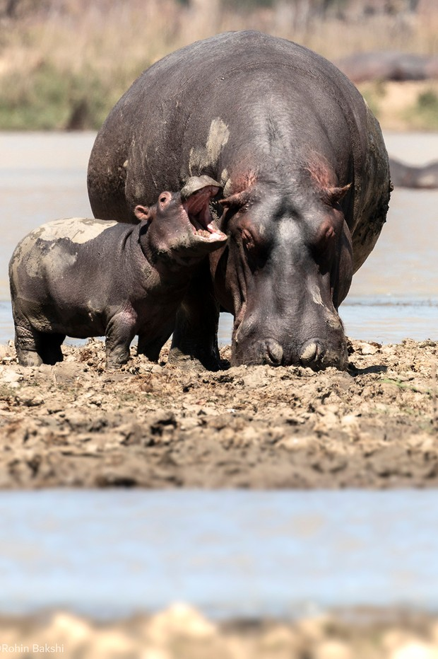 The Comedy Wildlife Photography Awards 2021 Rohin Bakshi Mumbai India Phone: Email: Title: Cranky Hippo Description: The baby hippo wanted his mother's attention, but it seems he wasn't getting any.. Animal: Hippopotamus Location of shot: Vwaza Game Reserve, Malawi