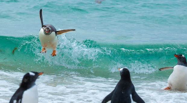 The Comedy Wildlife Photography Awards 2021 Tom Svensson Fjällbacka Sweden Phone: Email: Title: Happy Description: These penguins was surfing on the waves on to land and looked so happy each time Animal: Penguin Location of shot: Falklands