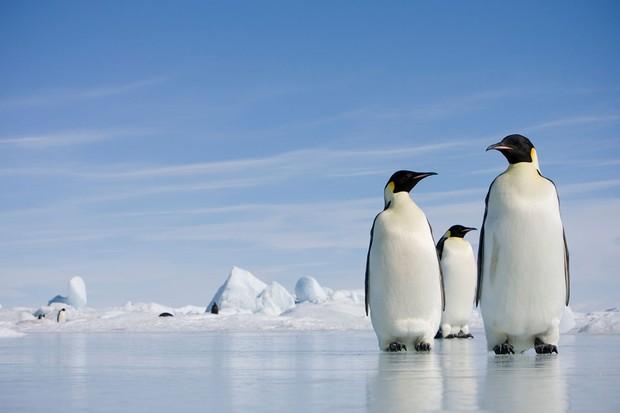 Pingüino emperador © Getty Images