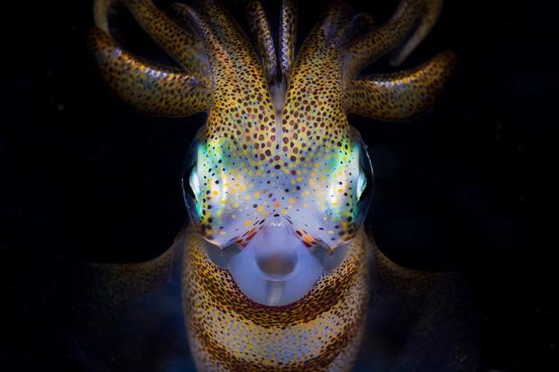 Southern Calamari (Sepioteuthis australis) Squid at night in Bushrangers Bay, NSW Australia.