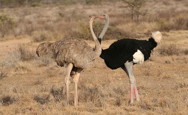 Avestruz somalí © Getty Images