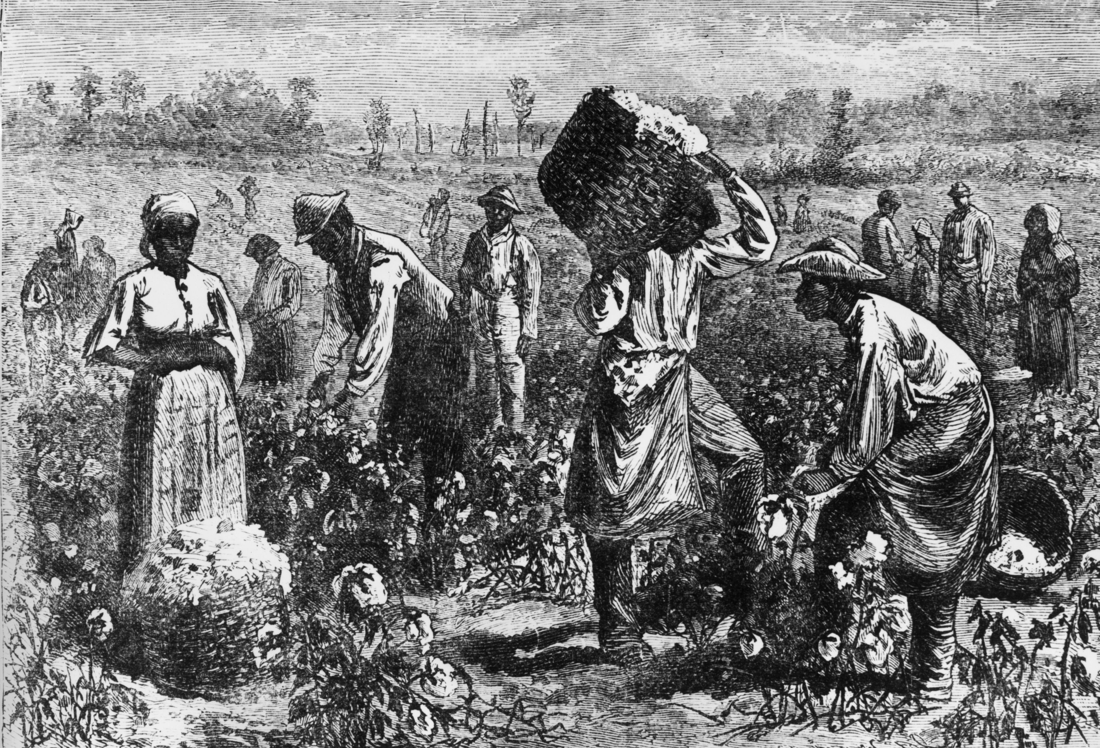 An illustration of slaves picking cotton on a plantation. (Photo by Hulton Archive/Getty Images)