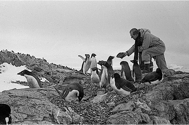 Prince Philip stretches his hand towards a group of king penguins.