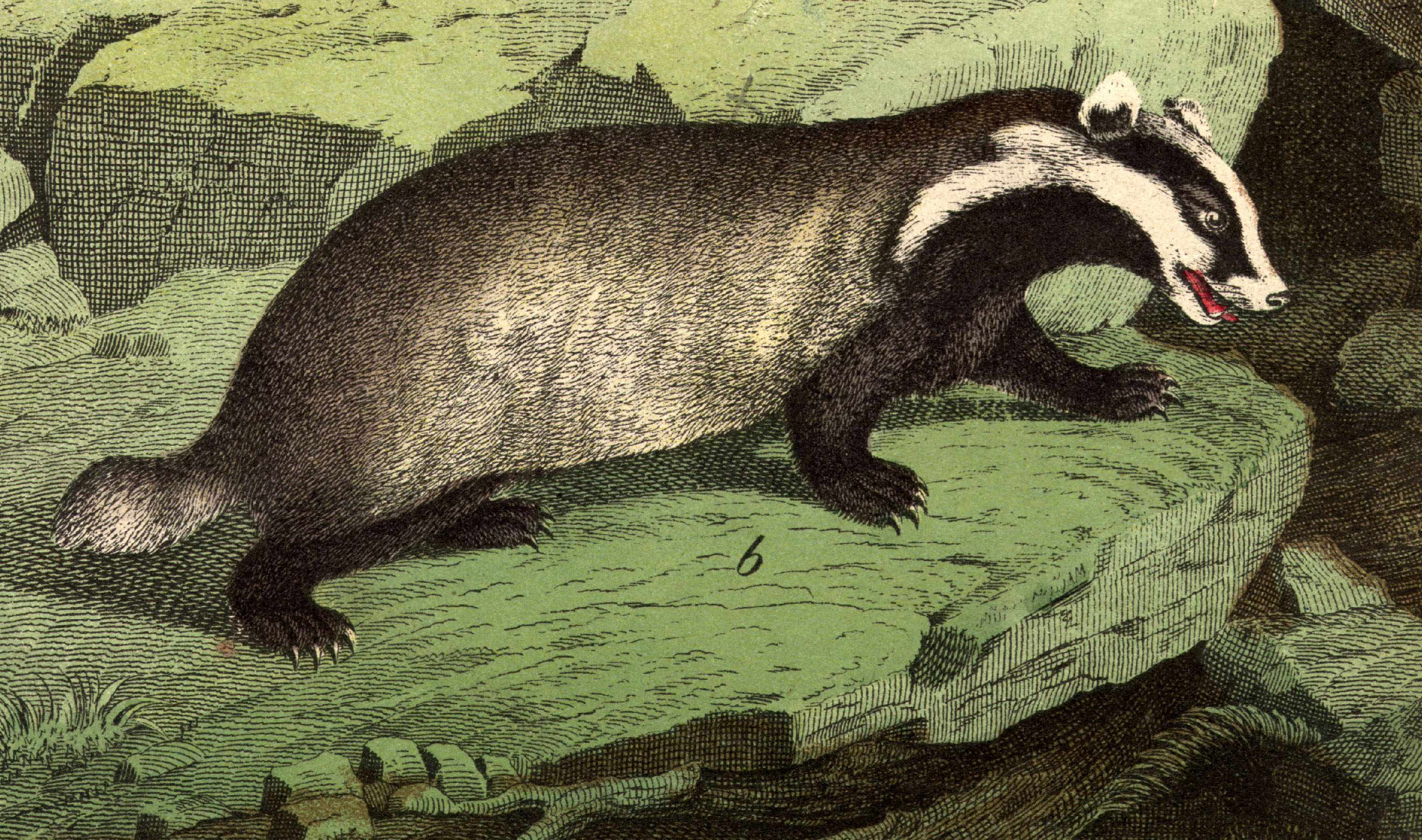 Illustration of a badger