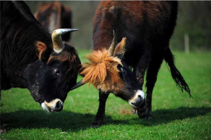 Heck cows, the result of Nazi breeding experiments. Seven Heck cows had to be put down in January 2015 after they tried, on multiple occasions, to attack Devon farmer Derek Gow. (Photo by Jim Wileman/Alamy Stock Photo)