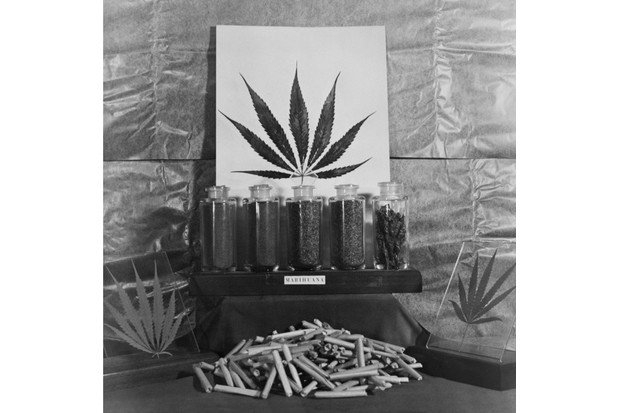 Display of marijuana by the US Treasury Department, c1940s. (Everett Collection Historical/Alamy Stock Photo)