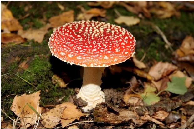 Flora, Fauna, Fungi, Amanita Muscaria, red large wild mushroom.