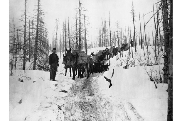 (Original Caption) Prospecters travel with packing mules through the Klondike Valley in Alaska, ca. 1899.Photograph.