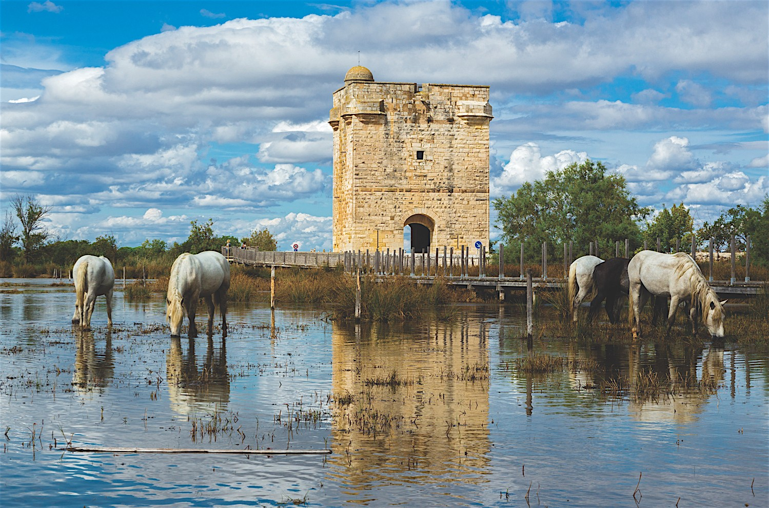 The Carbonniere near Aigues Mortes, Saint Laurent d'Aigouze, Gard,White horses in the Camargue, France