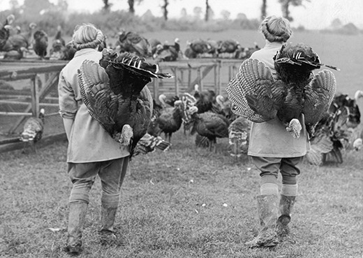 Land girls on an Essex turkey farm round up the turkeys for the last time. (Photo by Reg Speller/Fox Photos/Getty Images)