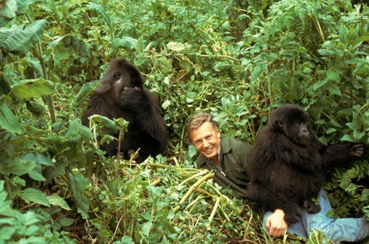 David Attenborough with mountain gorillas, on location during filming for  BBC  'Life on Earth' series in Rwanda 1979