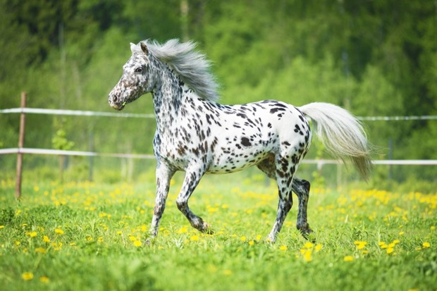 how did the appaloosa horse get to north america history extra