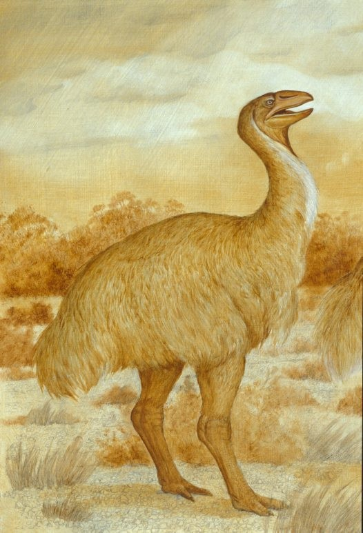 Pleistocene Dromornithid Dromornithid, Pleistocene, illustration drawn for Nature Australia magazine