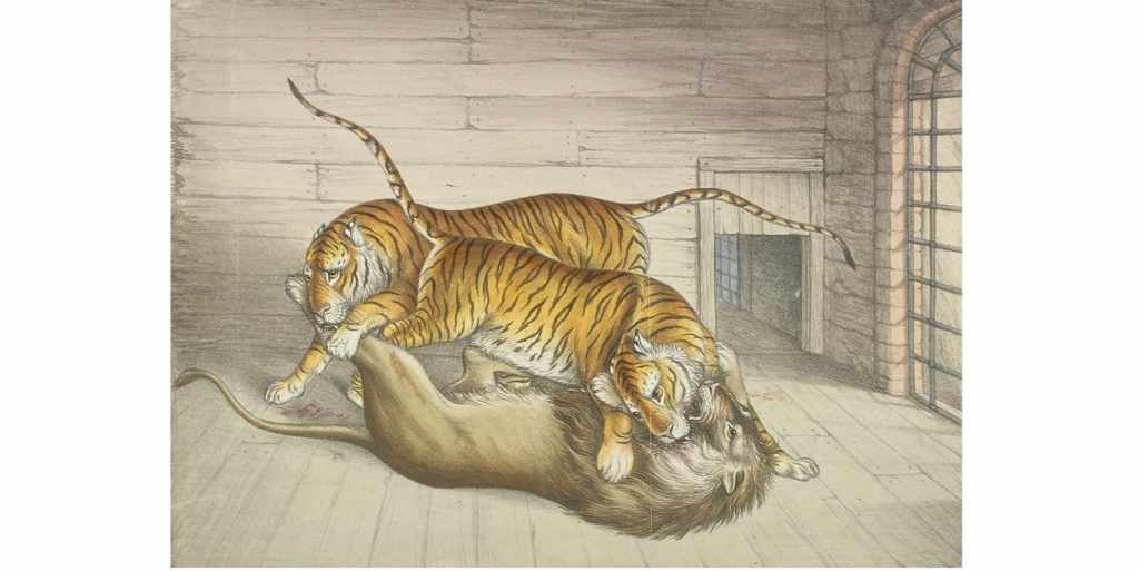 In 1830 a keeper at the Tower of London menagerie accidentally removed the barrier between a lion and two tigers. The animals were eventually prised apart, by which point the lion had been fatally wounded. (Photo by Guildhall Library & Art Gallery/Heritage Images/Getty Images)