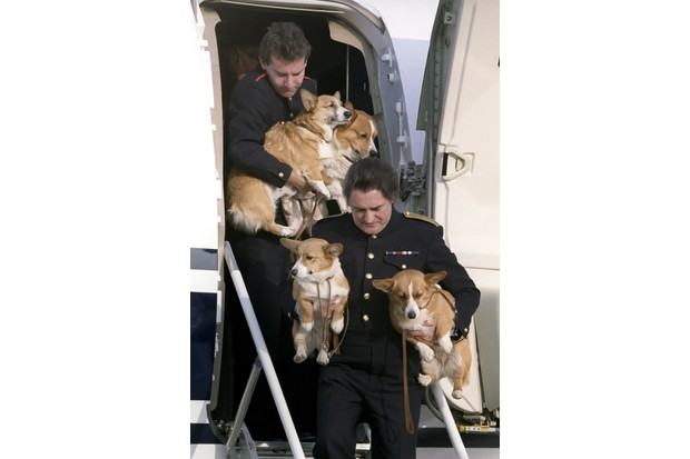 The Queen Mother's corgis disembarking a plane at Heathrow Airport after returning from the summer visit to Balmoral, 29 October 1993. (Photo by Julian Parker/UK Press via Getty Images)