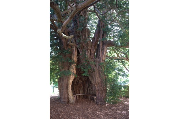 The Fortingall Yew, an ancient tree located in the churchyard of the village of Fortingall in Scotland may be the oldest living thing in Europe. (Photo by Getty Images)