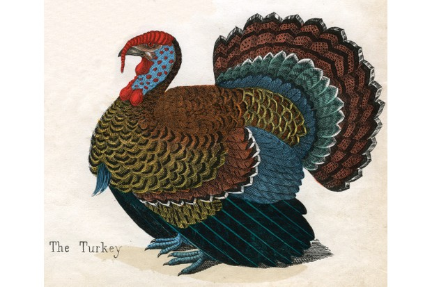 An 1850s print of a turkey from 'The Natural History of Animals'. Mentions of turkey appear in association with Thanksgiving in 1860s editions of 'Godey's Lady's Book'. (Photo by GraphicaArtis/Getty Images)