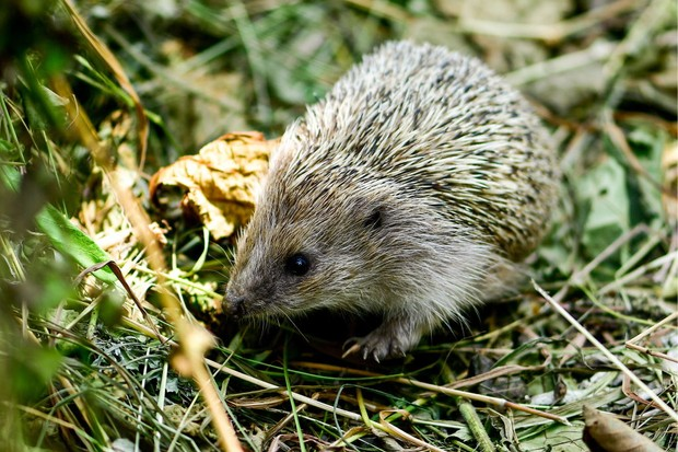 Now a protected species in many countries, the hedgehog was once also a health food. A German cookbook dating from the mid-15th century recommends the meat of a hedgehog as useful for leprosy and urinary retention. (Photo by Yuri SmityukTASS via Getty Images)
