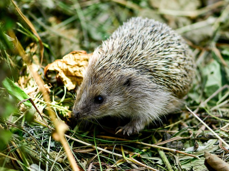 Hedgehogs, cannabis bread and horse placenta: 13 weird and wonderful health foods in history