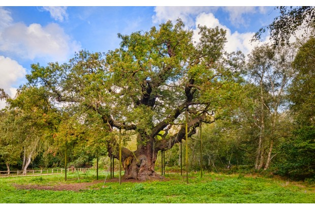 Major Oak in Sherwood Forest, where Robin is alleged to have had his hideout