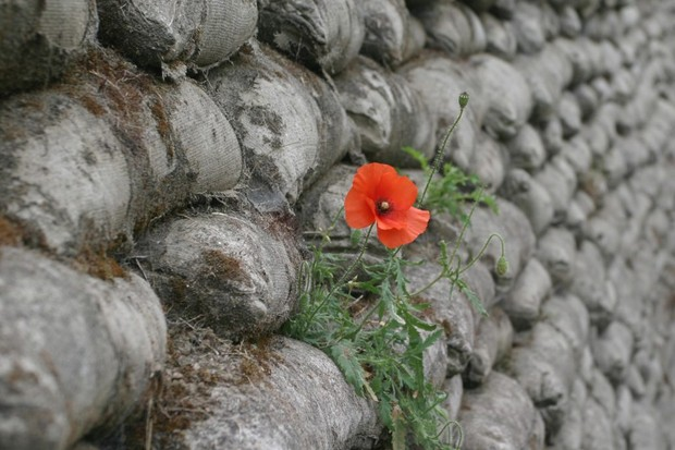 Photo of a poppy growing in a preserved WWI trench